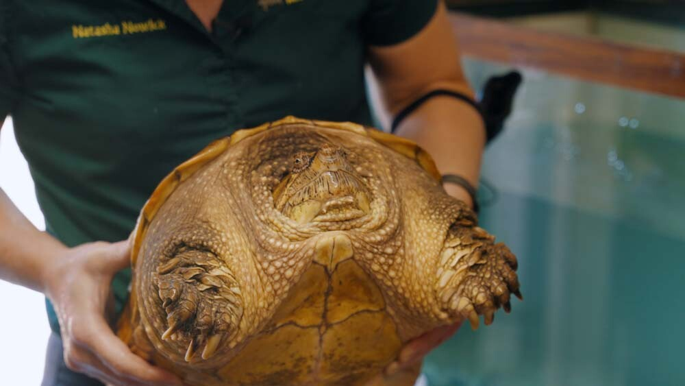 Turtle is deemed obese at 32 lbs.