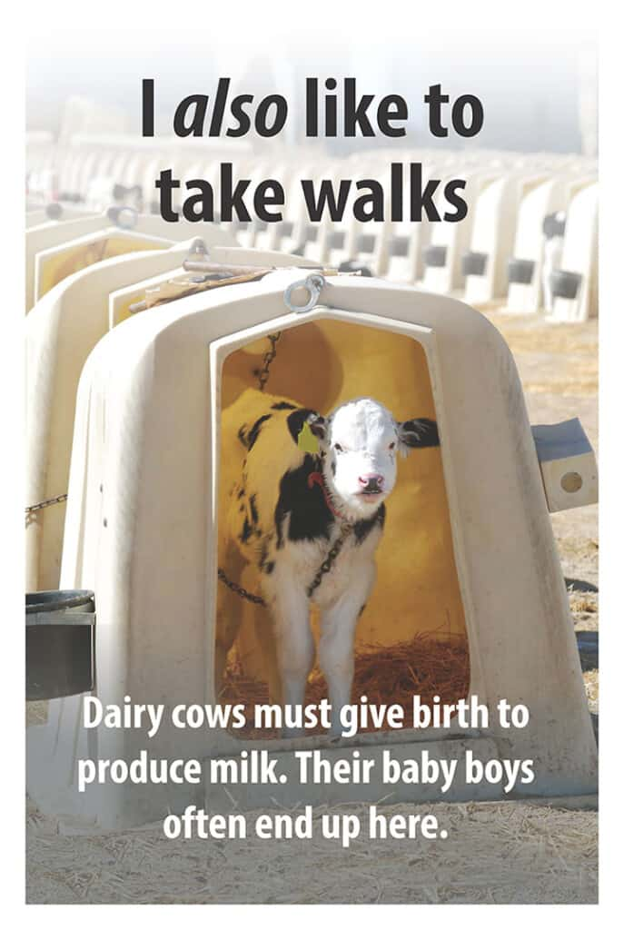 Veal-Calf-Poster