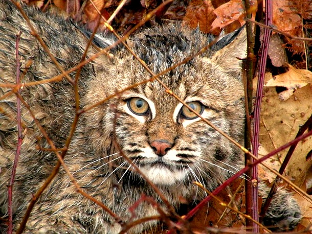 Stop bobcat trapping in NH.